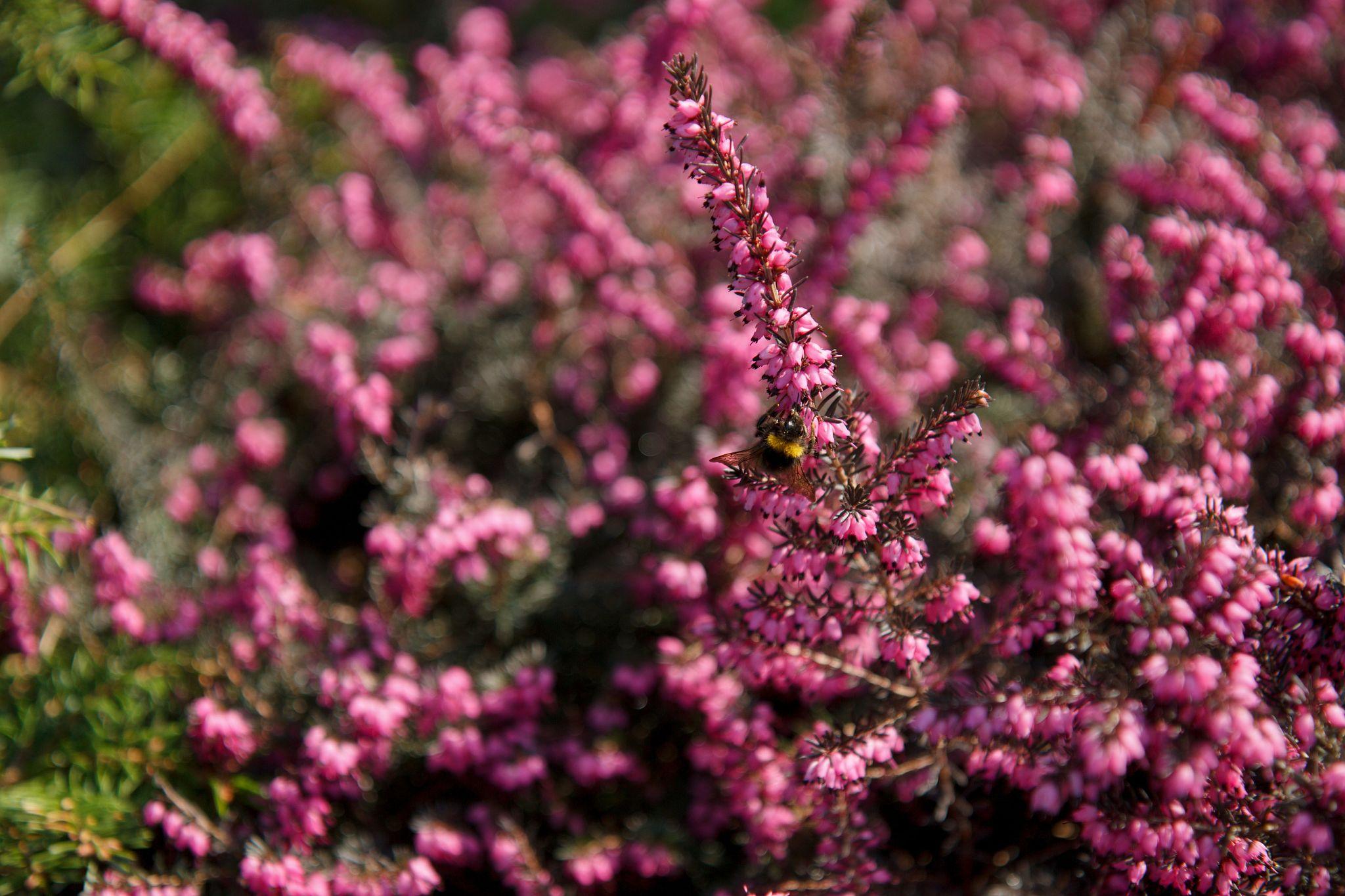 Čmelák na květu