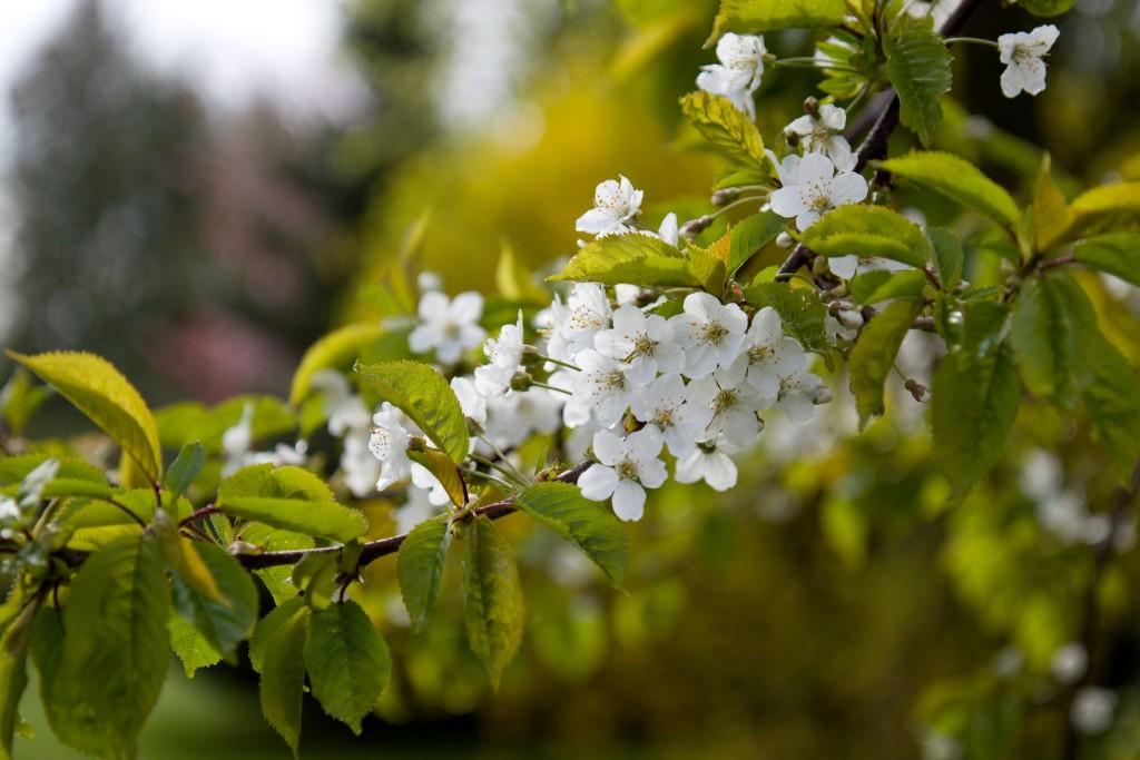 Kvetoucí třešeň, detail