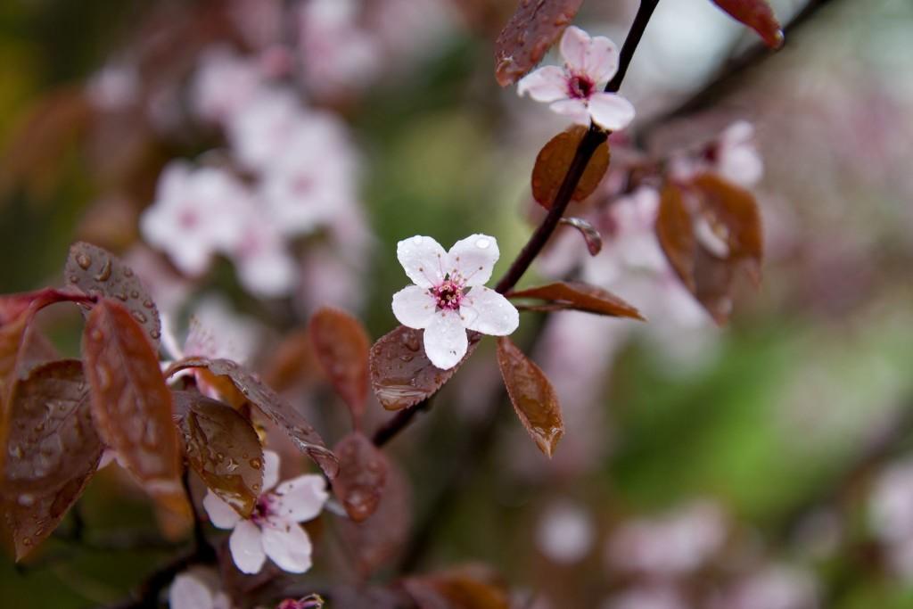Květ třešně, detail