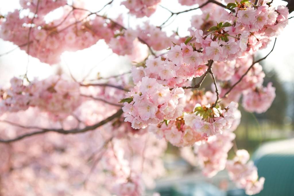 Kvetoucí sakura, Pardubice