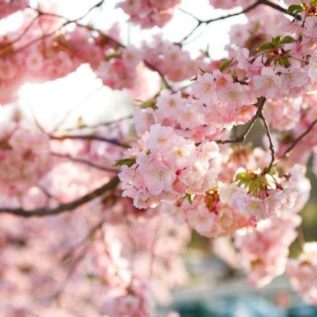 Květ sakury