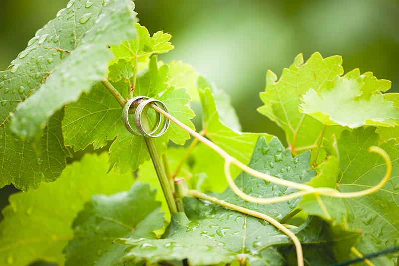 Detail prstýnků visící na vinné révě, svatba